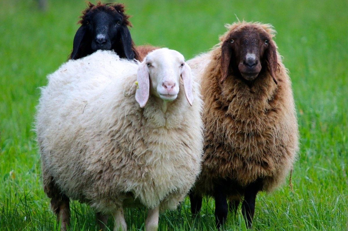Wool is a natural fiber that comes from an animal. | MakersValley Blog