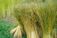 Flax is a natural fiber used to create the fabric linen.   MakersValley Blog
