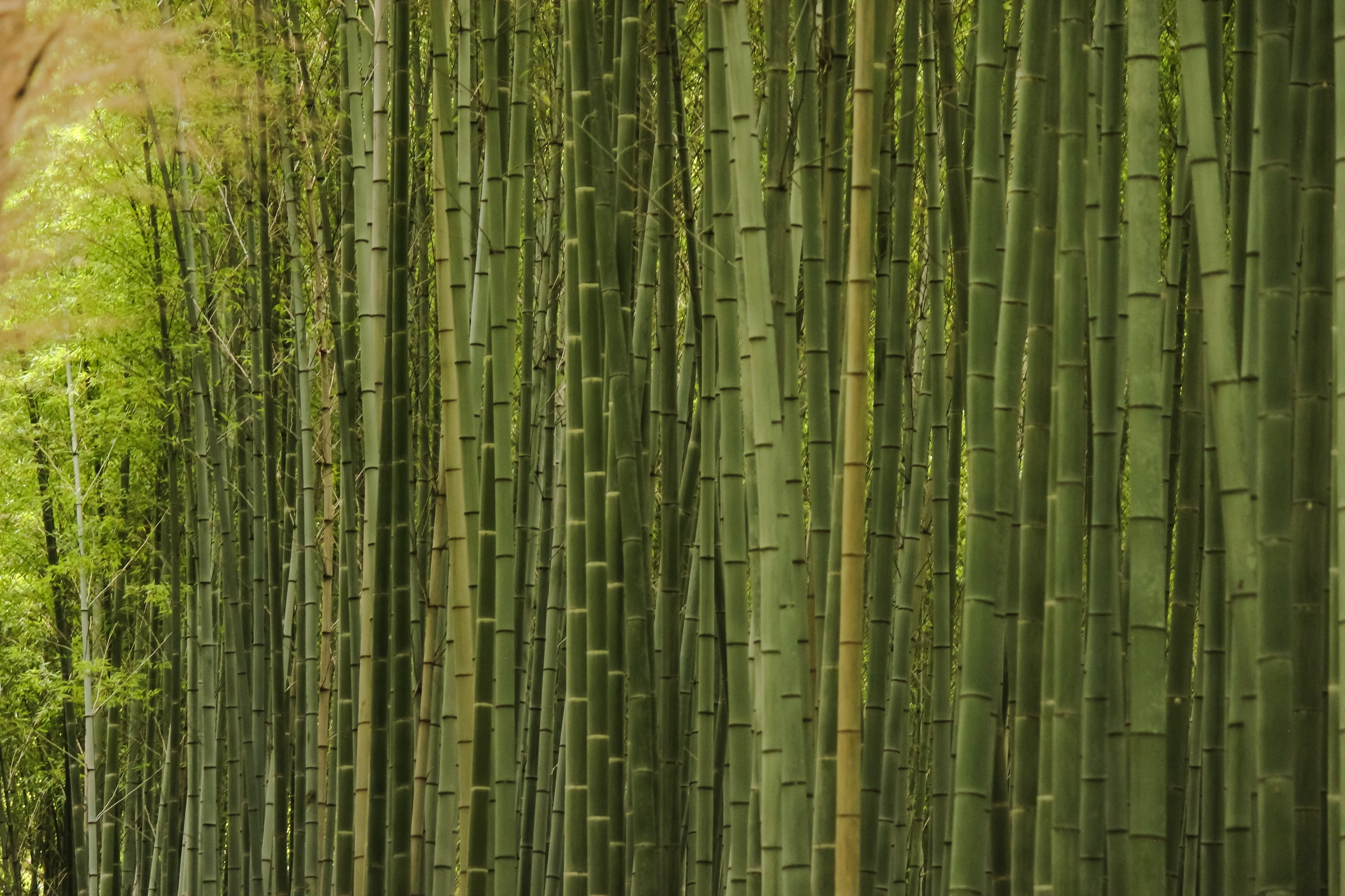 bamboo in a grove