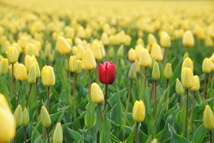 red tulip in field of yellow tulips